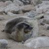 Weddell Seal Antarctic 2