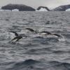 Chinstrap Penguin Leap Antarctica