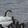 Gentoo Penguin Leap Antarctica