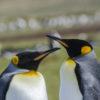 King Penguin Closeup Antarctica