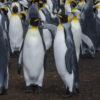 King Penguin Antarctica