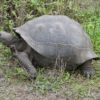 giant tortoise from galapagos